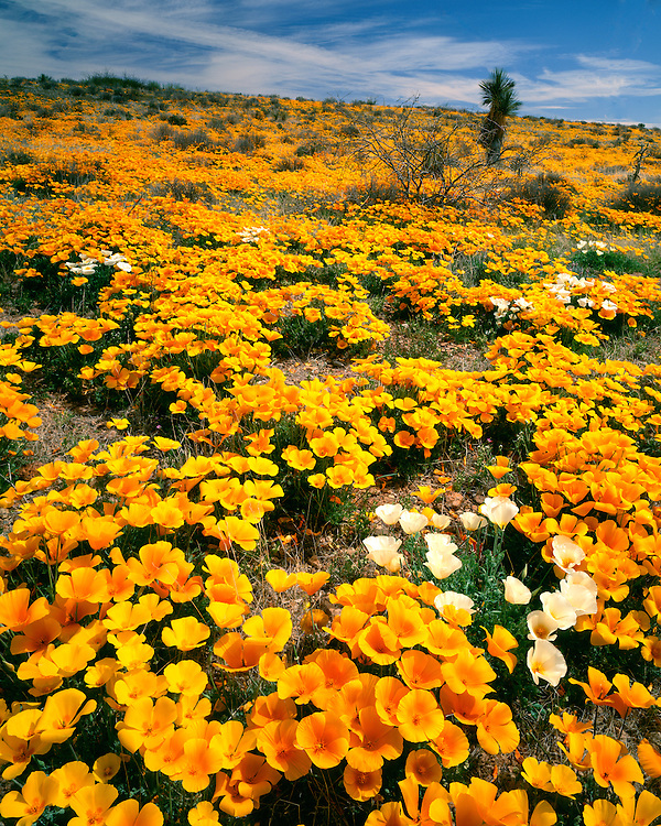 Field of Mexican Goldpoppies (Eschscholzia californica) in bloom in the Pinaleno Mountains; Cochise County, AZ
