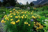 France, Hautes-Alpes (05), Villar-d'Arène, jardin alpin du Lautaret, lis des Pyrénées, Lilium pyrenaicum
