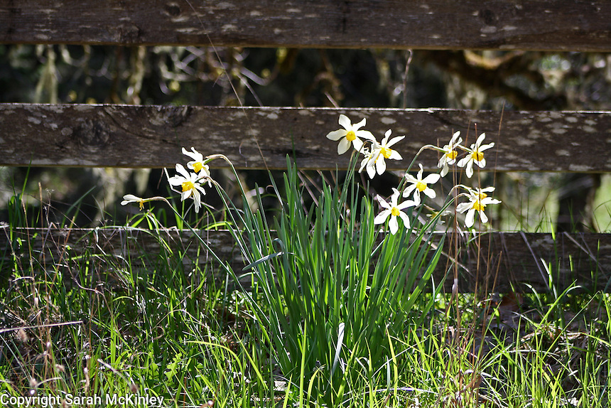 Pale yellow, thin-petaled daffodils grow against an old, weathered, wood fence on Muir Mill Road in Willits in Mendocino County in Northern California.