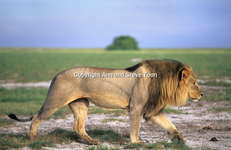 Lion male, Panthera leo, Etosha national park, Namibia