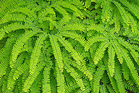 Maidenhair Fern, Washington