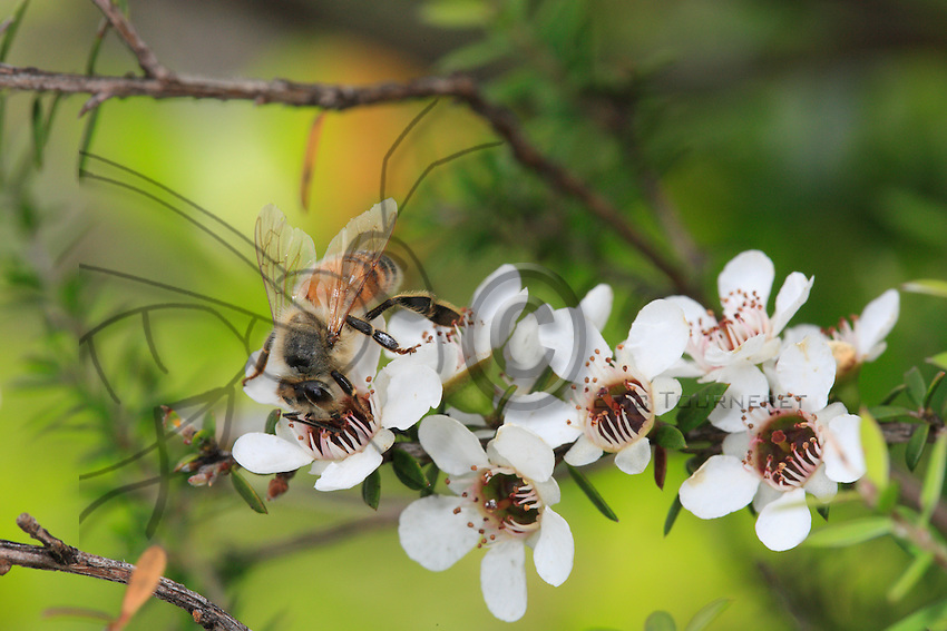 Bee on a manuka flower.
