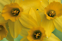 Trompetnarcis (Narcissus pseudonarcissus major)