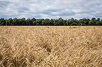 A wheat field is pictured near Portage La Prairie, Manitoba, Monday August 17, 2015.