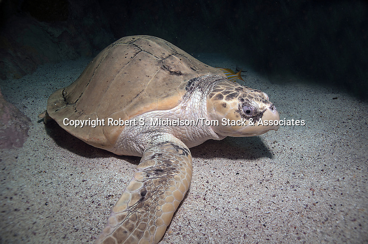 Kemps Ridley Sea Turtle sitting on sand bottom