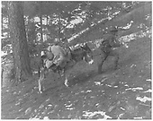 Ophir area prospector with his burro.<br /> Ophir area, CO  Taken by Byers, Joseph E.