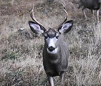 Mule deer buck in the Kootenai National Forest in winter.
