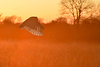 Barn Owl - Tyto alba