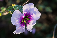A backlit flower displays multiple shades of purple as well as the shadow of the leaves behind it.