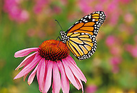 Monarch butterfly (Danaus plexippus) nectaring or resting on a purple coneflower.