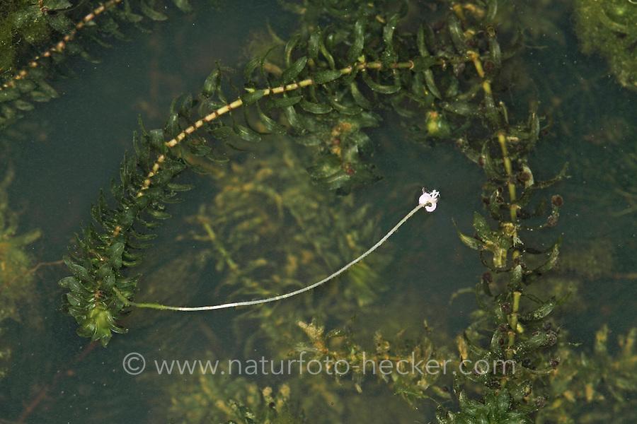 Kanadische Wasserpest, blühend, Blüte, Wasser-Pest, Elodea canadensis, Canadian Pondweed
