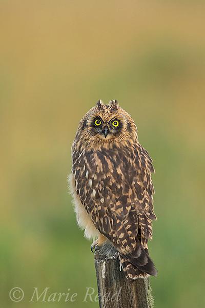 Short-eared Owl (Asio flammeus) juvenile female perched on fencepost, Benton Lake National Wildlife Refuge, Montana, USA