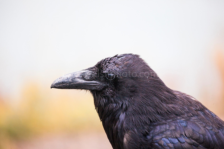 """If you know me, you'll know I'm a big fan of ravens. This raven (Corvus corax) encounter was in a trailhead car park in Yellowstone National Park, Wyoming. Ravens photographed scavenging, like this one was, are often regarded a vermin, or """"just a crow"""". However, ravens are intelligent and complex birds, showing problem solving abilities and a desire for entertainment. Ravens, the larges, and most widely found corvids form strong bonds in pairs and groups of pairs, working alongside wolves and other predators to get access to food such as carrion. They are strongly represented in native and ancient folklore around the world, appearing as messengers, creators, or gods of war. 2014 Copyright Dave Walsh."""