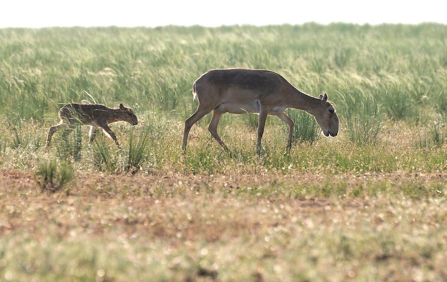 Mission: Saiga.Mother saiga (Saiga tatarica) and calf in the steppe in Cherniye Zemly (Black Earth) Nature Reserve, Kalmykia, Russia, May 2009.Saiga tatarica