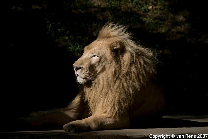 Portrait of Lion at Cincinnati Zoo