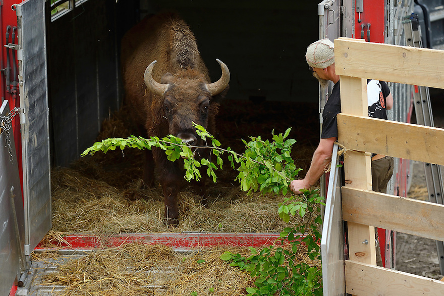Joep van de Vlasakker, Bison rewilding advisor, Release of European bison, Bison bonasus, in the Tarcu mountains nature reserve, Natura 2000 area, Southern Carpathians, Romania. The release was actioned by Rewilding Europe and WWF Romania in May 2014.