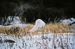 Arctic Fox leaps after prey, Churchill, Manitoba, Canada