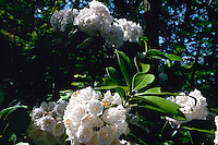 MOUNTAIN LAUREL - PHOTOSYNTHESIS<br /> Kalmia polifolia