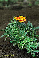HS14-012a  Marigold - normal (wilt series - see HS14-012a,017z) - Tagetes spp.