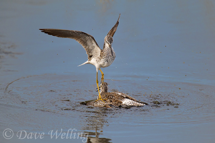 598250007 a pair of male lesser yellowlegs tringa flavipes engage in dominance display and fighting in a small pond on south padre island cameron county texas united states