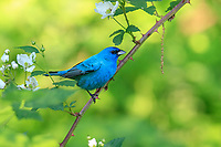 Indigo Bunting (Passerina cyanea), male in breeding plumage on it's breeding territory in Rockefeller State Park Preserve, Pleasantville, New York.