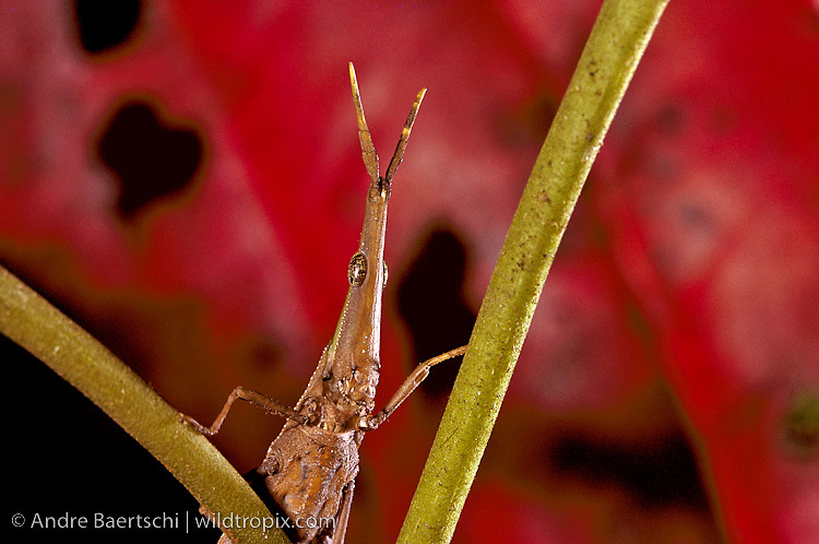 Pyrgomorph Grasshopper (Omura congrua) on a bush in lowland tropical rainforest, Manu National Park, Madre de Dios, Peru.