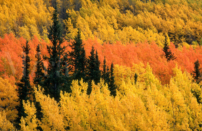 Trees changing color with the season contrast against the taller spruce in Haines Pass in the Yukon, Canada