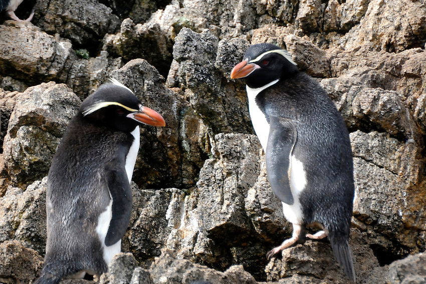 Camouflage - Snares Islands penguins