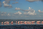a flock of roseate spoonbills, an endangered pink sea bird, rest on the flats off Flamingo on a late summer afternoon in Everglades Nat'l Park