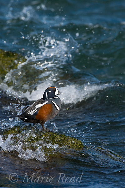 Harlequin Duck (Histrionicus histrionicus), male in breeding plumage, surrounded by crashing waves, Barnegat Inlet, New jersey, USA