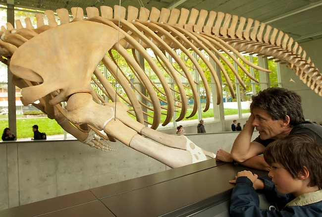 Father and son look on the new blue whale exhibit at the Beaty Biodiversity Museum located on the campus of The University Of British Columbia Vancouver BC, May 22nd 2010.  This was the first of five free summer previews of the exhibit open to the public.  The skeleton is the largest in Canada 25-meters long, and largest in the world suspended without an external armature.  The blue whale is the largest animal to have ever live on earth..The Canadian Press Images/ Gus Curtis