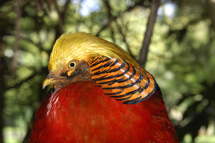 Golden Pheasant Chrysolophus pictus L 60-100cm. Male is gaudy and unmistakable; female is superficially similar to female Pheasant but separable on close inspection. Typically secretive. Sexes are dissimilar. Adult male has mainly red body plumage with golden-yellow crown and barred 'cape', yellow rump and blue on wings and back; tail is buffish with intricate dark markings. Adult female is buffish brown with distinct dark barring all over; note contrast between pale brown face and darker crown and nape. Juvenile recalls a small, short-tailed female. Voice Territorial male utters a shrill, disyllabic call. Status Native of China. Introduced and now very locally established; favours dense woodland.