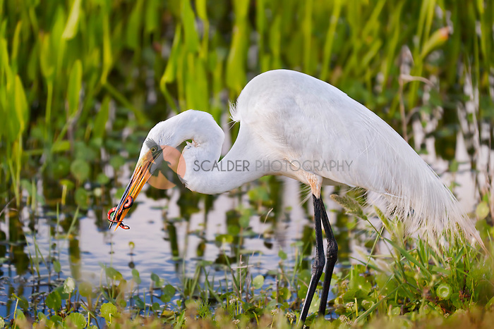 Great Egret standing in water catching a snake. Snake is wrapped around beak of Egret