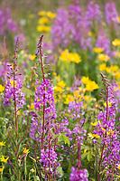 Fireweed and yellow wildflowers, roadside, Alaska.