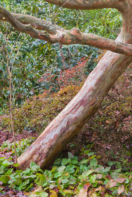 Beautiful Stewartia pseudocamellia tree trunk bark with Epimedium in early winter / late autumn fall