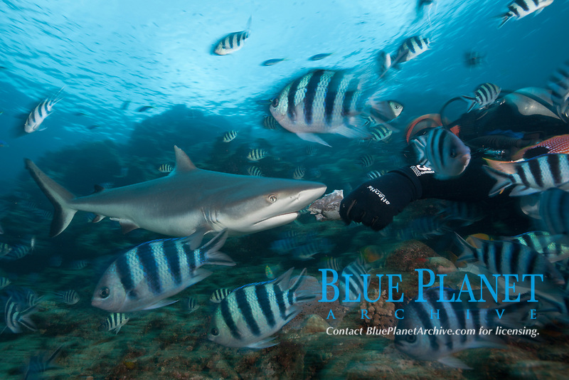 scuba diver and Grey Reef Shark at Shark Feeding, Carcharhinus amblyrhynchos, Beqa Lagoon, Viti Levu, Fiji, Pacific Ocean, model release