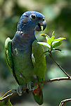 Blue Headed Parrot, Pionus menstruus, Iquitos, Peru, Amazonian Jungle, perched in tree, green. .South America....