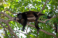 Costa Rica Howler Monkey