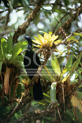 Monte Verde, Costa Rica. Black tropical bird and bromeliads in the rainforest.