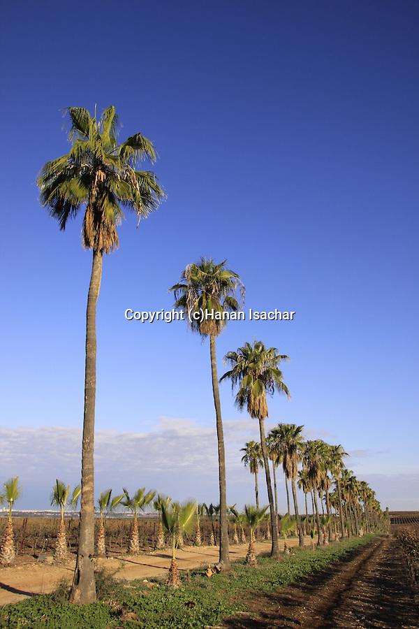 Israel, Shephelah, Washington Palms (Washingtonia robusta) near Hulda forest
