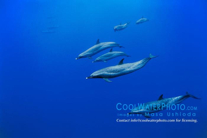 pantropical spotted dolphins, Stenella attenuata, with calf, Kona Coast, Big Island, Hawaii, USA, Pacific Ocean