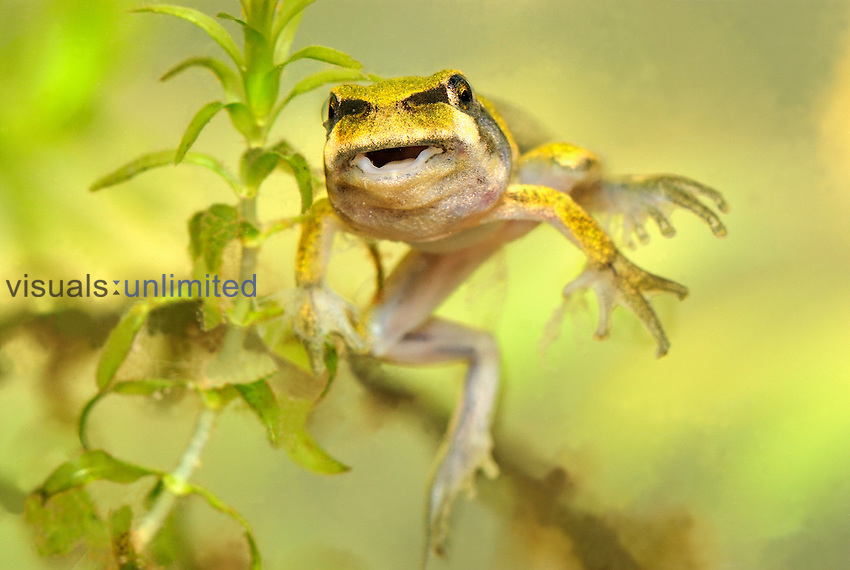 European Treefrog (Hyla arborea) between the tadpole and frog stages, Switzerland