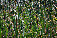 The green and brown lines of cattails  border a path into the wetlands of Coyote HIlls Regional Park.