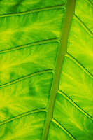 plant elephant ear backlit bright green. Caribbean.