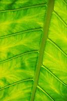 plant elephant ear backlit bright green. Caribbean.