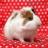 Xavier, ANIMALS, REALISTISCHE TIERE, ANIMALES REALISTICOS, photos+++++,SPCHGUINEA117,#A#, EVERYDAY ,funny