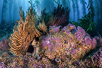 A diverse kelp forest with gorgonians and brittle stars grows on a rocky bottom near Santa Barbara Island of the Santa Barbara Island, Channel Islands National Park, California, USA, Pacific Ocean