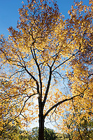 hickory tree, Arnold Arboretum, autumn, Boston, MA fall