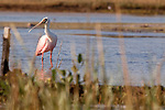 Roseatte spoonbill in the morning light.