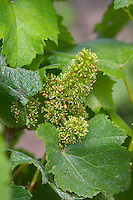 A chardonnay vine in flower Champagne Francois Seconde, Sillery Grand Cru, Montagne de Reims, Champagne, Marne, Ardennes, France